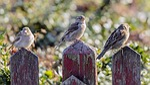 birds, picket fence