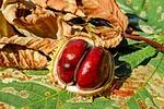 kasztan, jesienią, buckeye