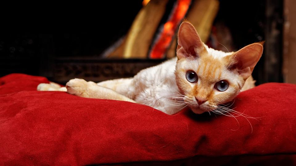 Devon Rex Kocur Kot Darmowe Zdjęcie Na Pixabay