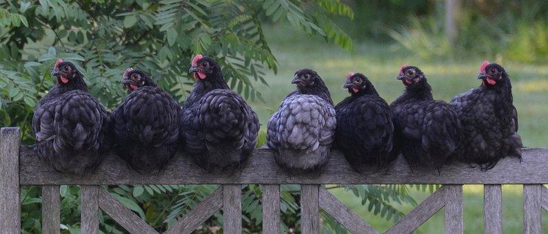 Poulet, Poule, Oiseau, Ferme