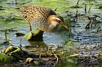 buff, banded, rail