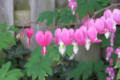 Bleeding Heart Free pictures on Pixabay