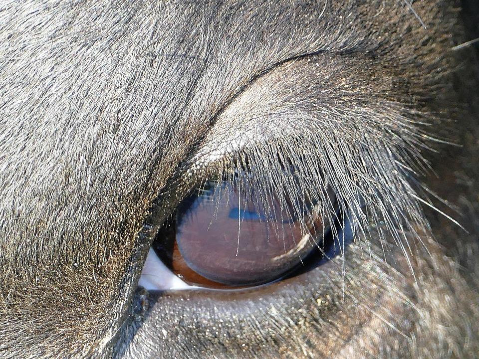 Eye Cow Eyelashes Close Free Photo On Pixabay