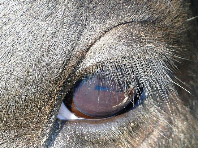 Картинки глаза корова