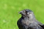jackdaw, bird