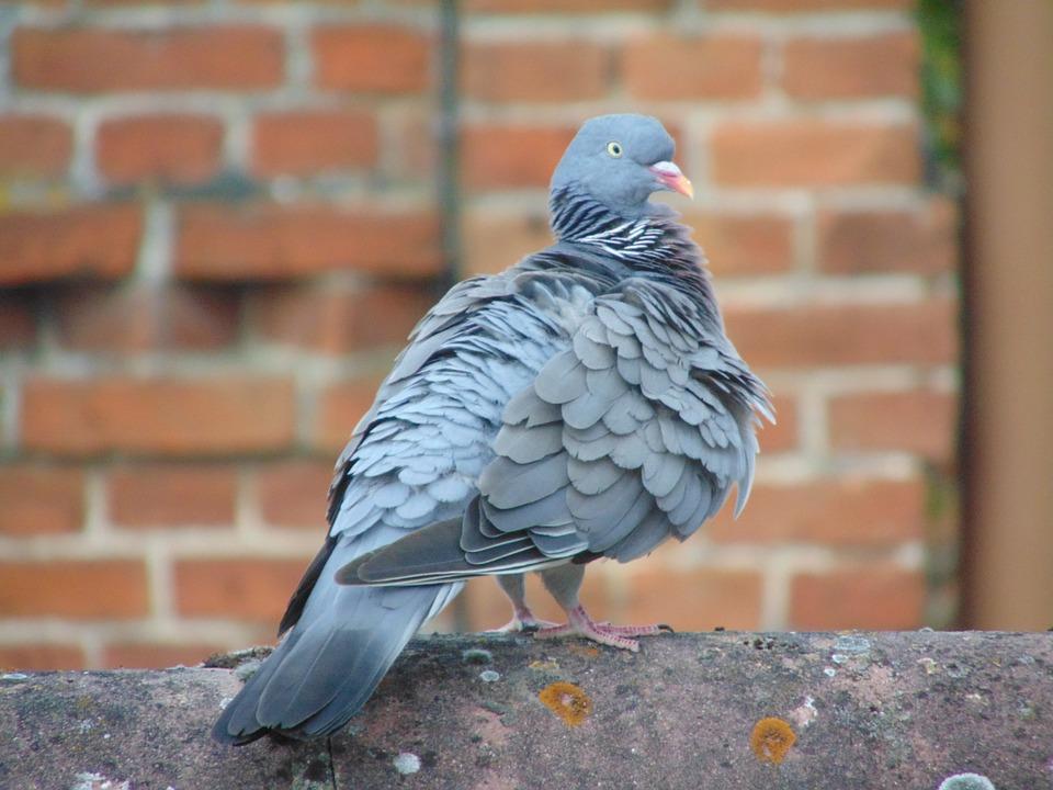 Homing Pigeon Dove Bird - Free photo on Pixabay