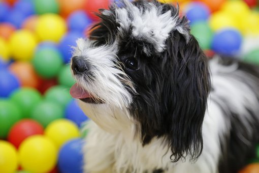 Dog, Puppy, Shih Tzu, Tibetan Terrier