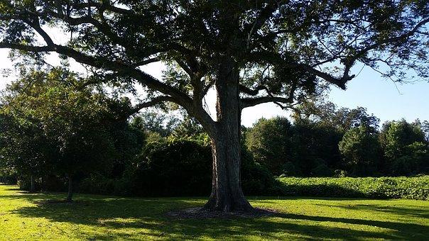 Tree, Beech, Pecan, Summer, Nature