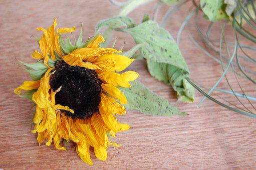 Sunflower, Flower, Wilted, Dying