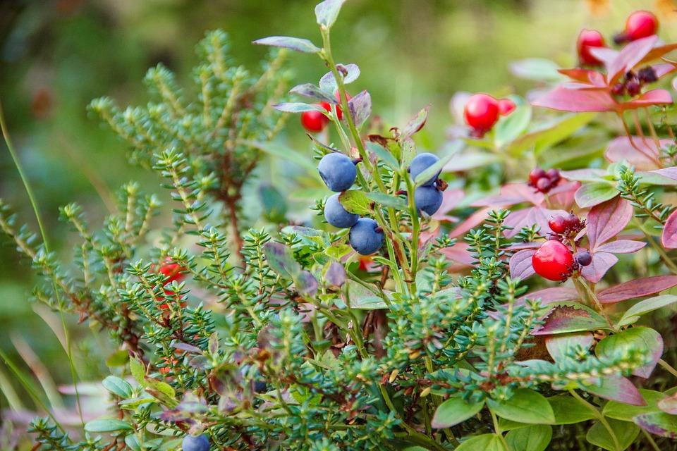 Foresta, Natura, Monti Khibiny, Berry, Muschio, Ginepro