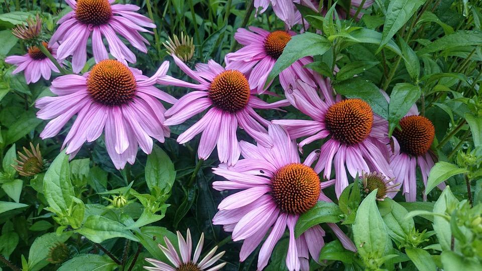 Herbstblumen Garten Violett Voller Kostenloses Foto Auf