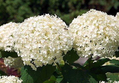 Hortensia Images Pixabay Telechargez Des Images Gratuites