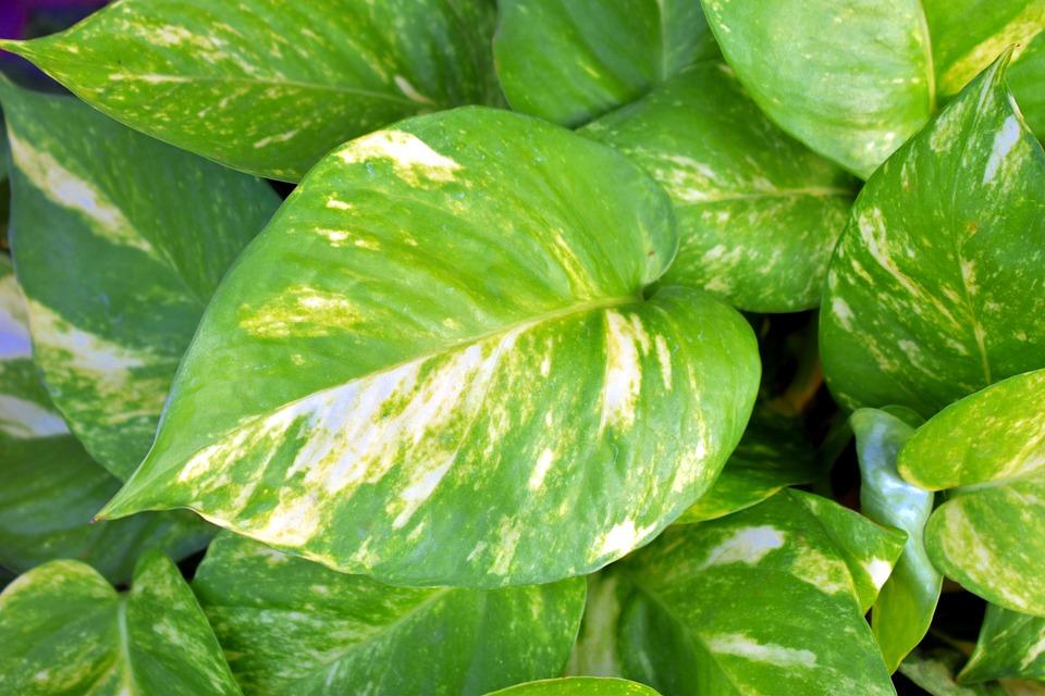 Money Plant, Golden Pothos, Variegated Leaves, Ivy Arum