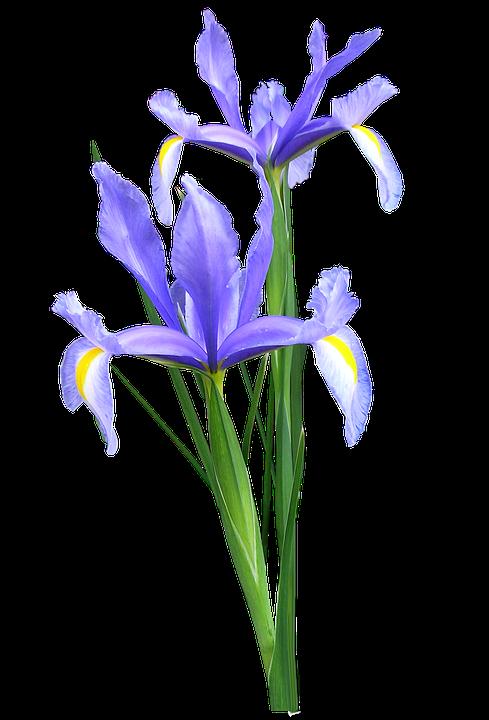 Iris Dutch 183 Free Photo On Pixabay