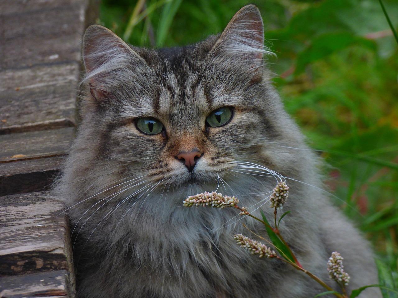 боб лесная скандинавская кошка фото вначале