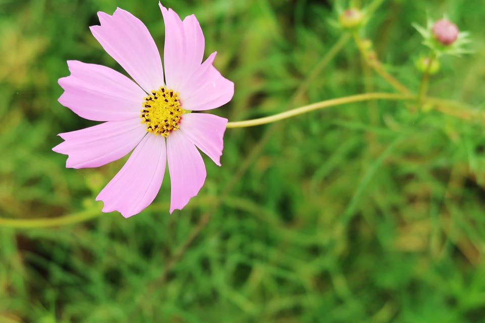 Cosmos pink flower free photo on pixabay cosmos pink cosmos flower garden mightylinksfo Image collections