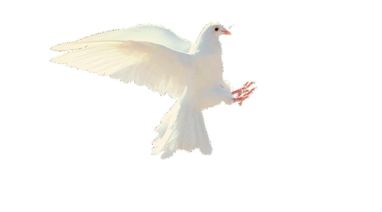 Merpati Putih Terpencil   Foto gratis di Pixabay