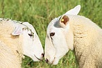 sheep, love