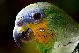 Parrot, Macaw, Bird, Amazon, Head