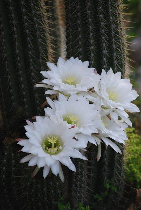 Cactus flower white free photo on pixabay cactus flower white flower flowering cactus mightylinksfo