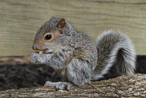 Squirrel, Squirrel Eating, Wildlife
