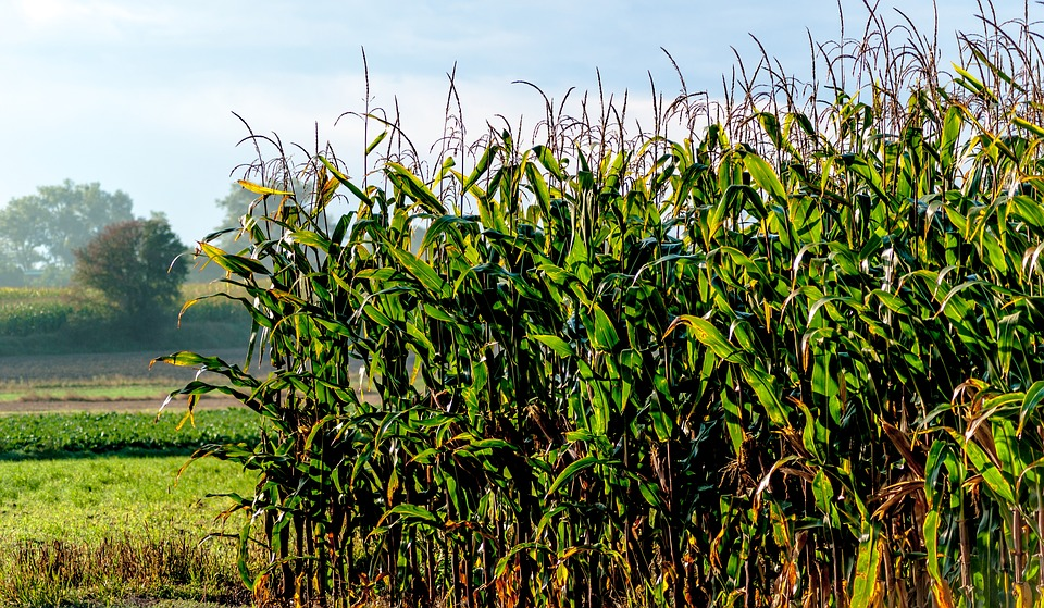 how to plant and grow field corn