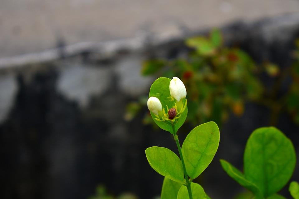 Arabian Jasmine Buds, Motia, Sampaguita, Fragrant, Vine