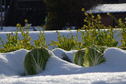 野菜, 白菜, 菜の花, 雪, 雪景色, 農業, 家庭菜園, 野菜畑, 野菜栽培