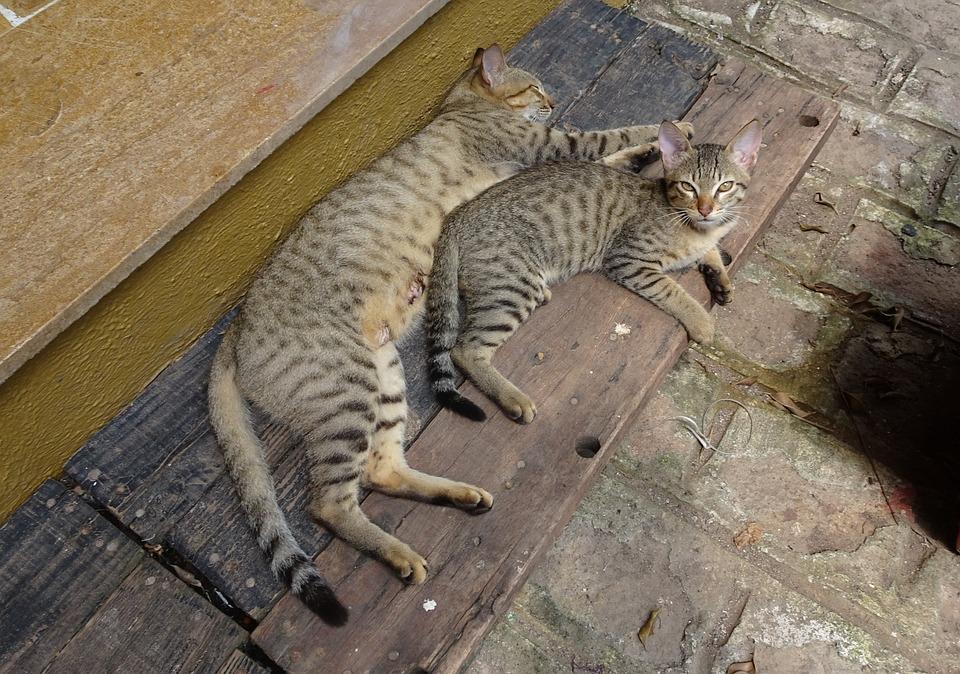 chat bengal chaton chat domestique race bengale - Chaton Bengal Gratuit