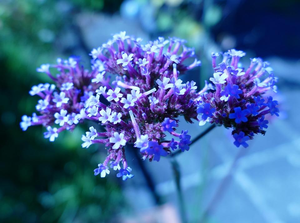 Verbena, Blu, Fiore