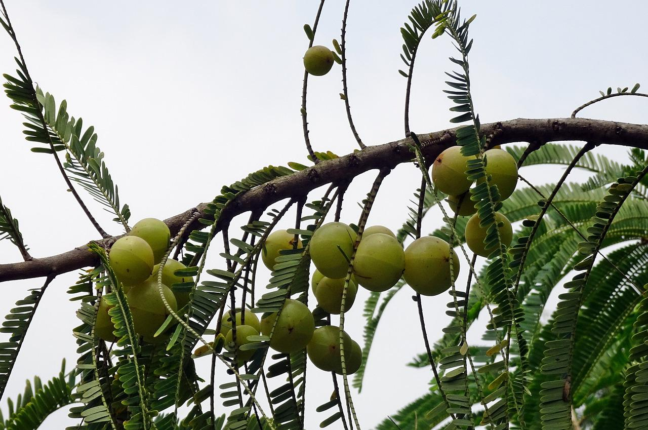 Pregnancy me Gooseberry Health Benefits