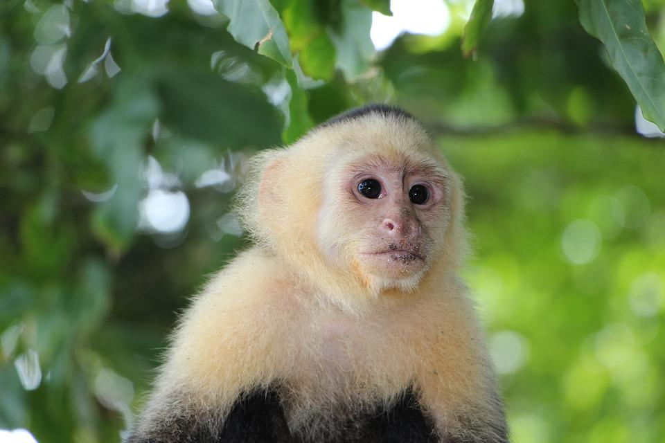 Capuchin Monkey Äffchen - Free photo on Pixabay