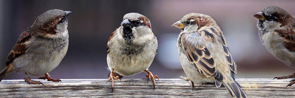 Sparrows, Sparrows Family, Birds, Chats