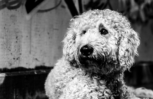 Goldendoodle, Dog, Black And White