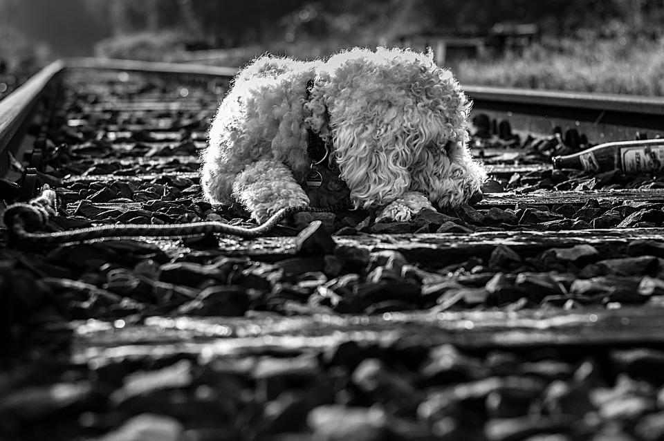Goldendoodle Dog Black And White - Free photo on Pixabay