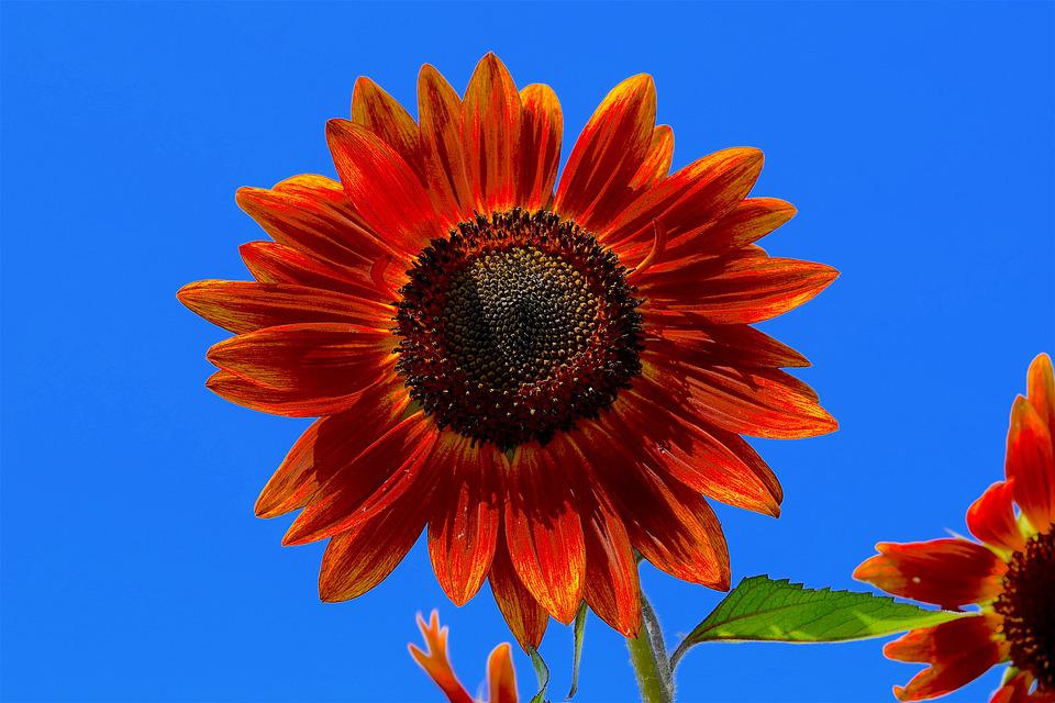 Girasole, Red, Fiore, Floreali, Estate, Giardino, Bloom