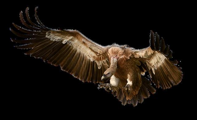 Vulture Bird Prey · Free photo on Pixabay