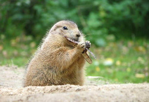 Prairie Dog, Wildlife Park, Rodents