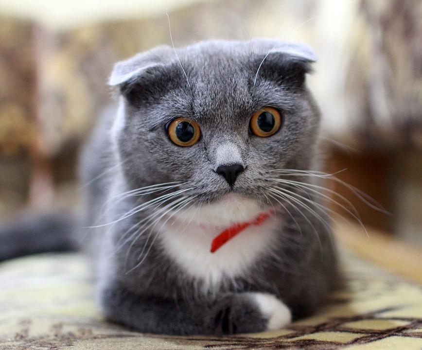 Cat, British, Surprise, View, British Cat, Fold, Pets