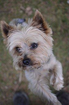 Dog, Yorkshire Terrier, Little Dog