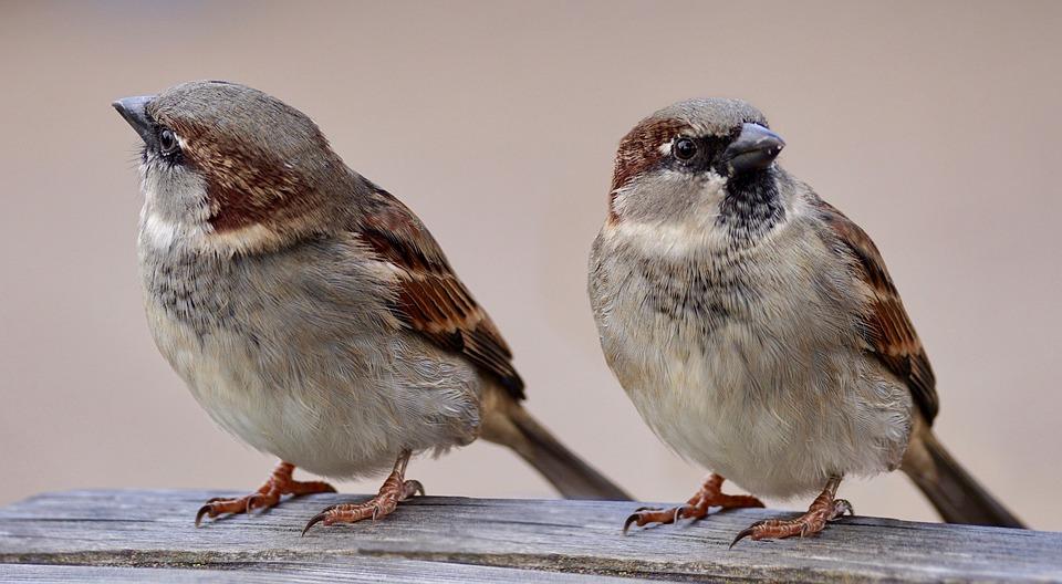 スズメ, 2 つ, 鳥, ペア, 羽, ビル, 動物の世界, カップル, ぼかし, 自然, スパーリング
