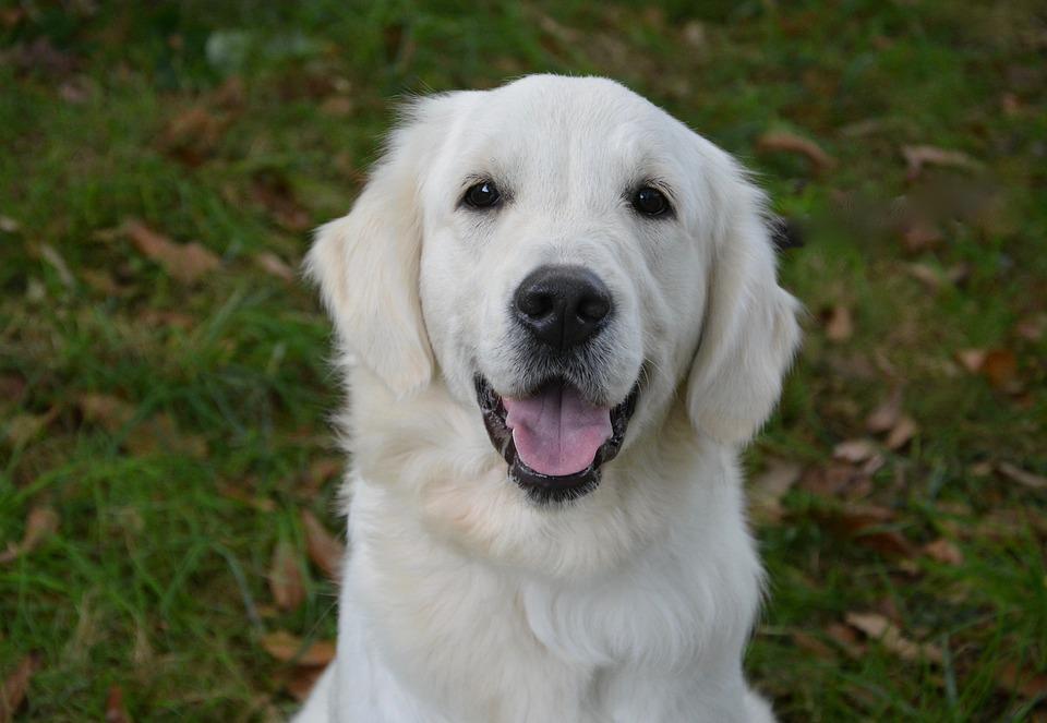 Dog Golden Retriever F...