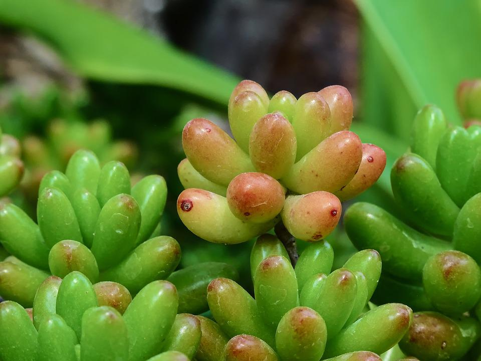 Sedum Rubrotinctum, Sedum, Plantaardige, Zomer, Flora