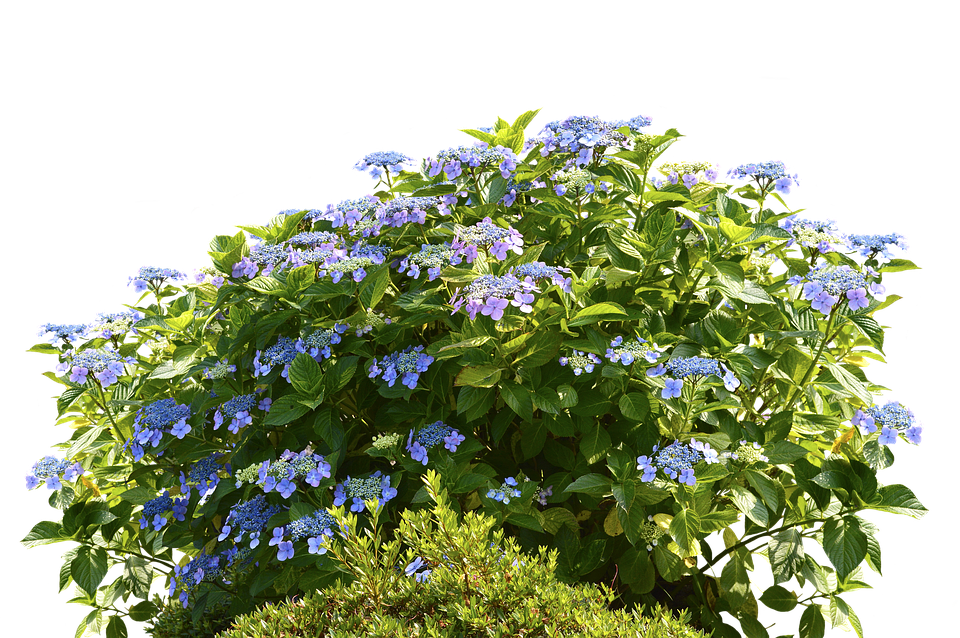 hydrangea images pixabay download free pictures