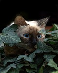 cat, burmese