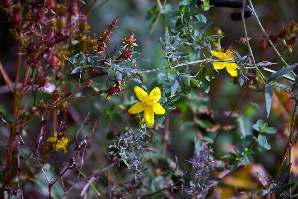 Fiori Gialli Borgogna.Pianta Hypericum Ciciliana Fiori Foto Gratis Su Pixabay
