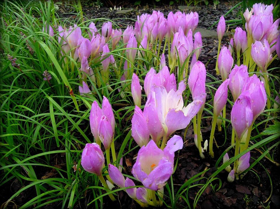 Садовый цветок шафран