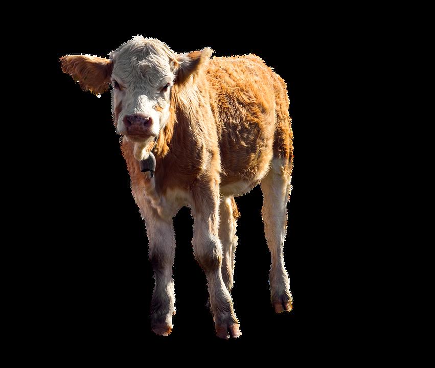 1000 Free Calf Cow Images Pixabay