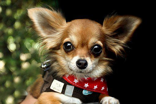 Chihuahua, Dog, Race, Animals, Cute