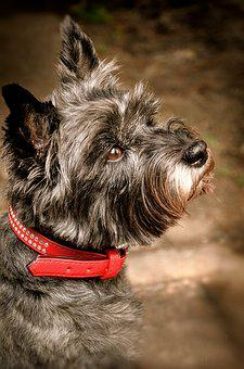 Cairn Terrier Mix with Yorkie